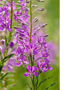 canadian willowherb